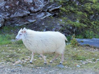 исландский барашек, риолитовые горы, риолит, желтые горы, туристическая база Ландманналёйгар, фото Стасмир, photo Stasmir, Landmannalaugar