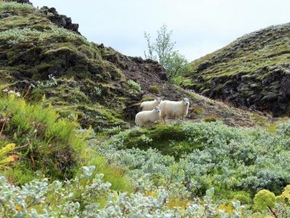 Landmannalaugar, бараны у теплой реки на Ландманналёйгар, Лундаманналаугар, джип-сафари, Исландия, фото Стасмир, photo Stasmir,
