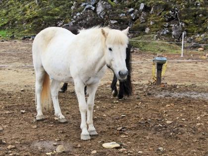 Landmannalaugar, лошадка на Ландманналёйгар, Лундаманналаугар, джип-сафари, Исландия, фото Стасмир, photo Stasmir,