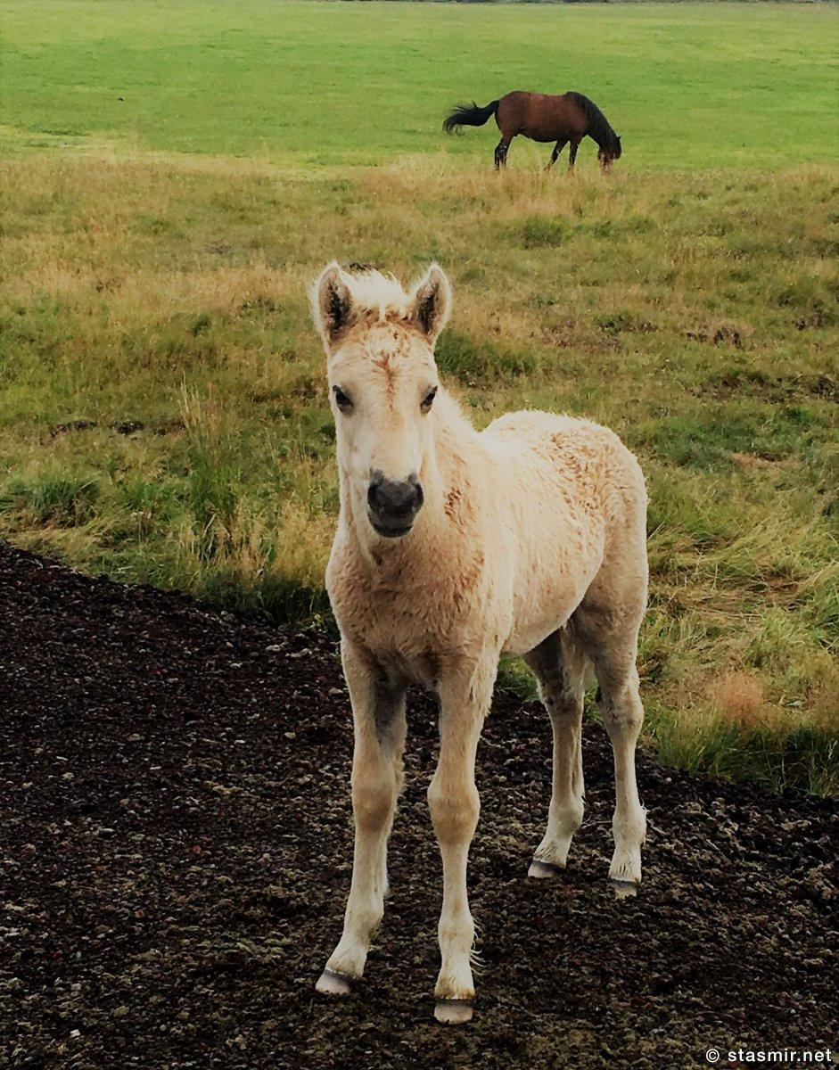 colt, Жеребенок исландской породы, фото Стасмир, photo Stasmir