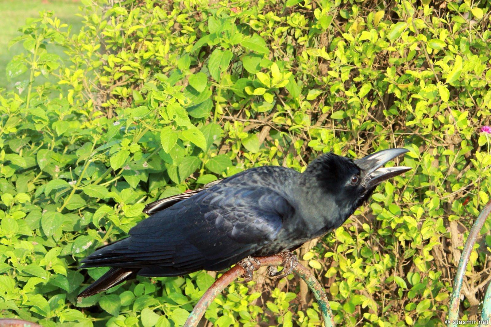 Ворон в саду в Мумбае, Индия, фото Стасмир, Photo Stasmir