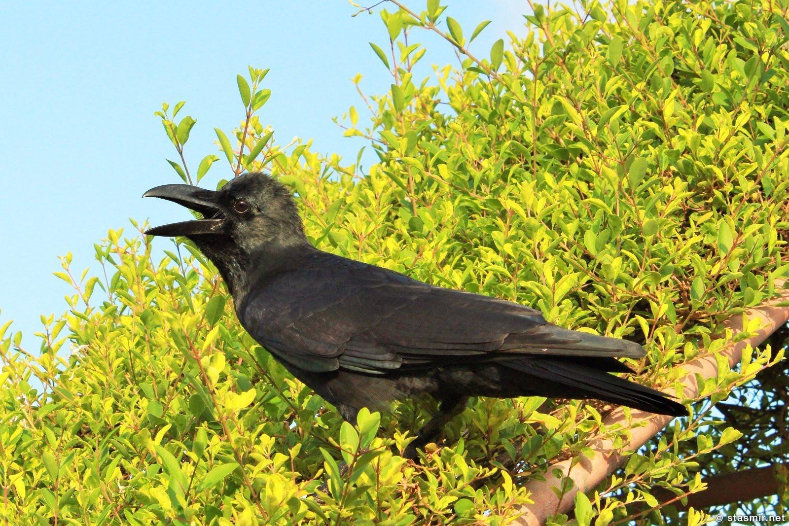 Ворон каркает в Мумбае, фото Стасмир, photo Stasmir