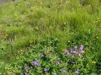 Герань лесная (Geranium sylvaticum)