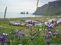 Растения Исландии