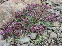 Тимьян арктический, THYMUS ARCTICUS, (Thymus praecox ssp arcticus)