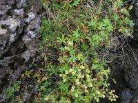 Манжетка альпийская (Alchemilla alpina)