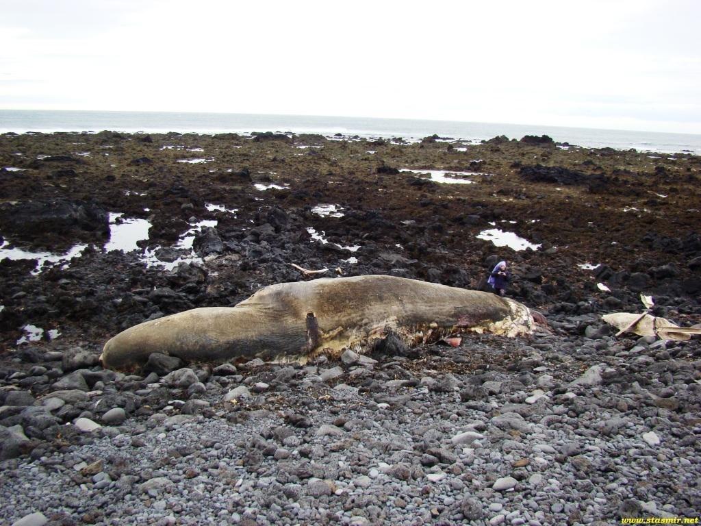 тухлый кит, Северная Исландия,  китопредставление, hvalreki