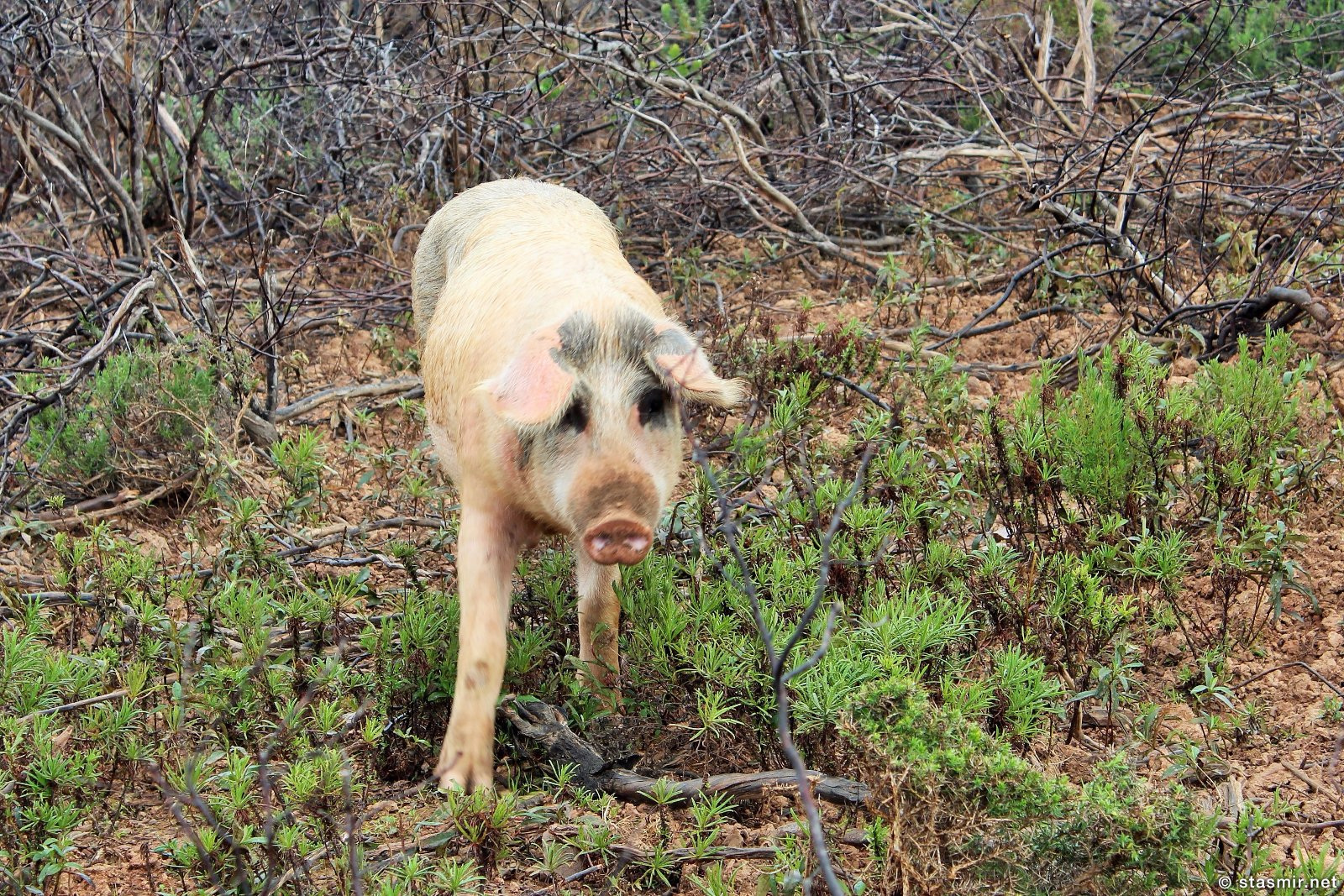 Свинья в провинции Алентежу, Португалия, фото Стасмир, photo Stasmir