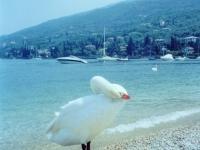 pushy swan, наглый лебедь на озере Гарда, фото Стасмир, Photo Stasmir