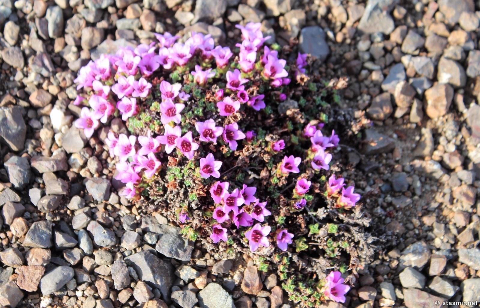 цветет смолевка бесстебельная в Исландии в мае, фото Стасмир, фото Стасмир