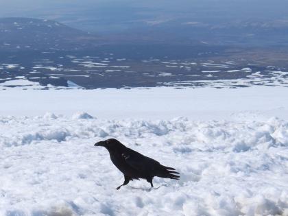 ворон на леднике Лаунгйокудль в Исландии, фото Стасмир, photo Stasmir