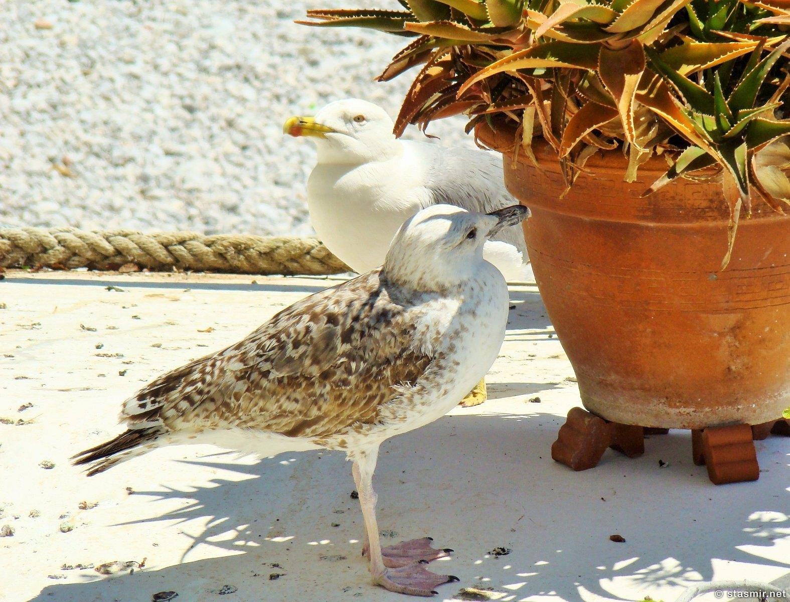чайки на Капри, Isola Di Capri, остров Капри, фото Стасмир, Photo Stasmir
