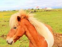 исландский конь, Íslenski hesturinn, исландские лошадки, Станислав Смирнов, Стасмир, Стасмир Трэвэл, Photo Stasmir