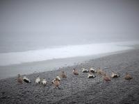 утки, птицы Исландии, Стасмир, Станислав Смирнов, Стасмир Исландский, Южный Берег, Рейнисфйара, Туры в Исландию