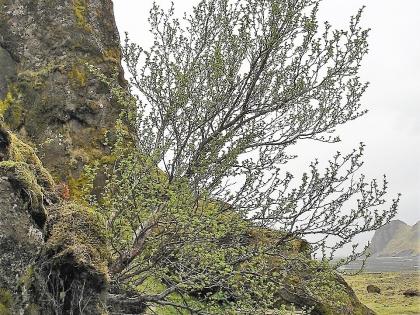 Весеннее дерево по дороге в Тоурсмёрк, Торсморк, Þórsmörk, фото Стасмир, photo Stasmir