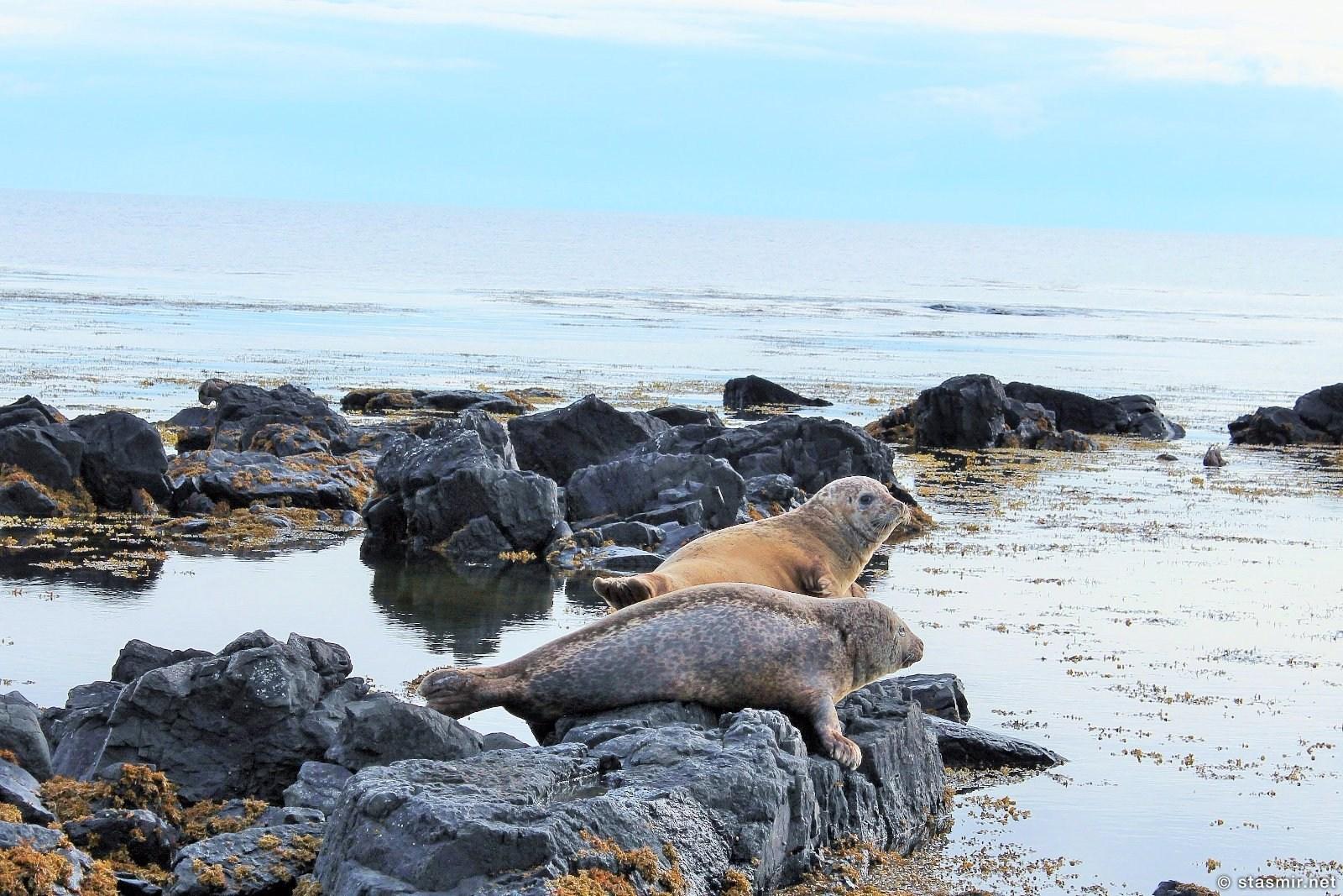 Лежбище морских котиков в Итри-Тунга, Снайфедльснес, фото Стасмир, photo Stasmir