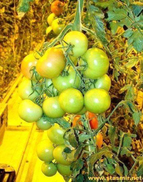 tomatur