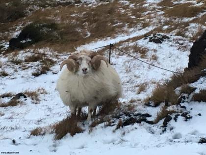 ислансдкий баран, фото Стасмир, Photo Stasmir