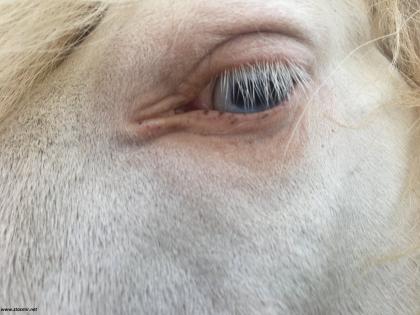 На голубом глазу исландской лошадки, фото Стасмир, photo Stasmir