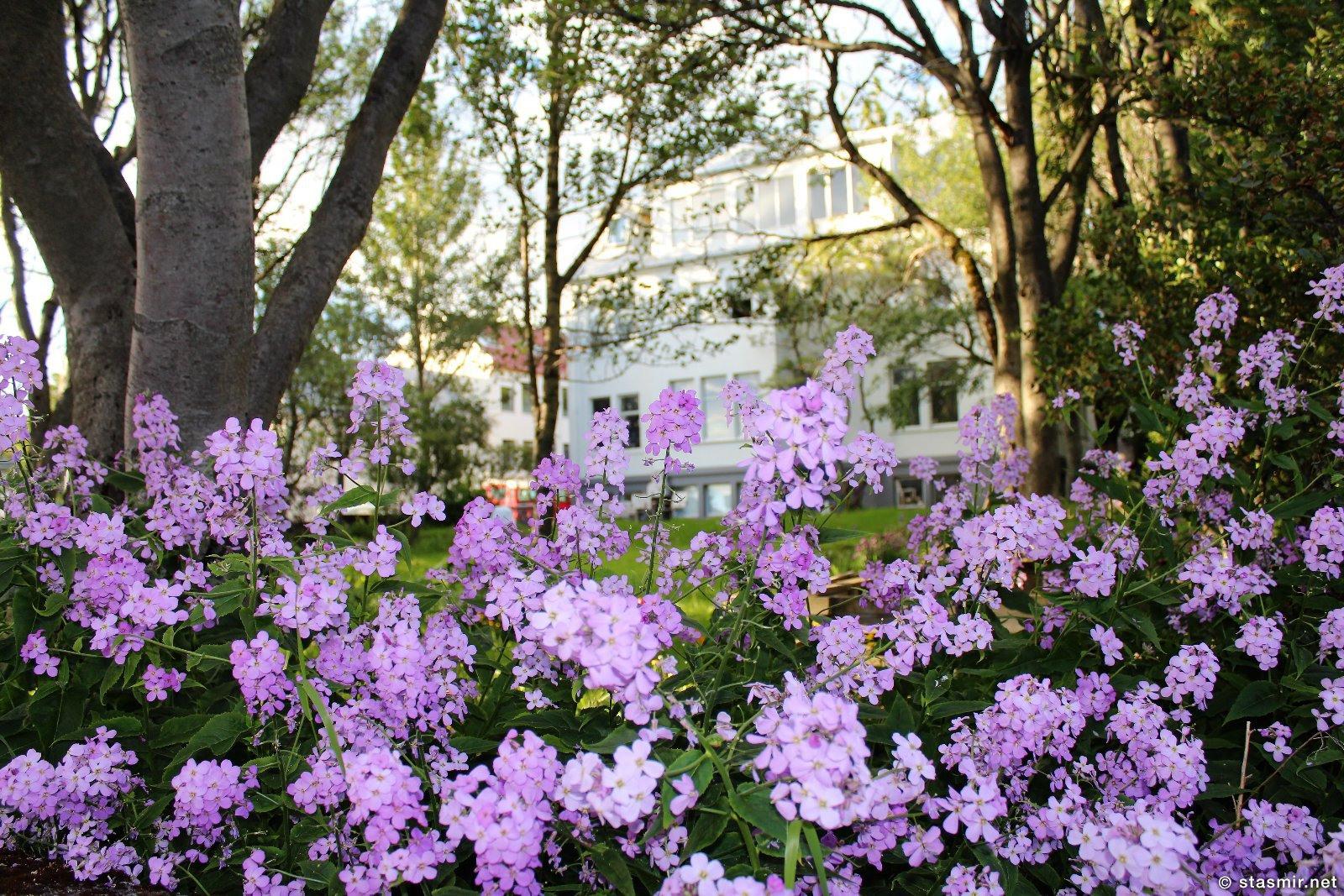 Цветущий сад в центральном Рейкьявике в районе Асгард, Фото Стасмир, photo Stasmir