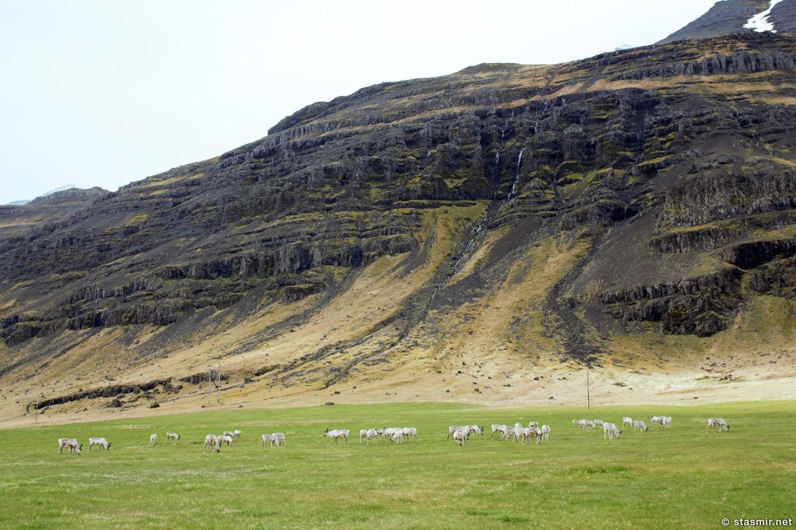 северный олени за Хёбном, фото Стасмир, photo Stasmir