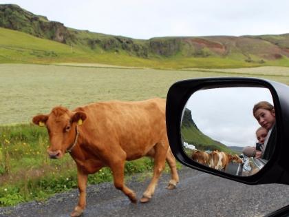 марш телят в Исландии по дороге на Dýrhólaey на маршруте Южный Берег Исландии, фото Стасмир, Photo Stasmir