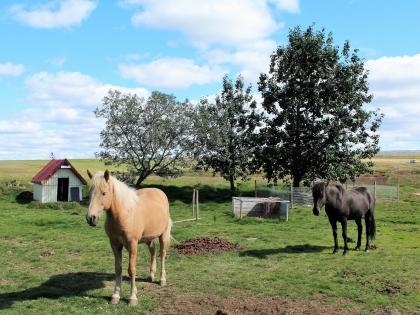 исландская порода лошадей летом, лето в Исландии, фото Стасмир, photo Stasmir
