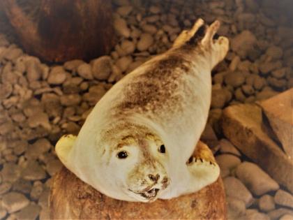 чучело тюленя в музее Акулы в Bjarnarhöfn на полуострове Снайфедльснес в Западной Исландии, фото Стасмир, Photo Stasmir