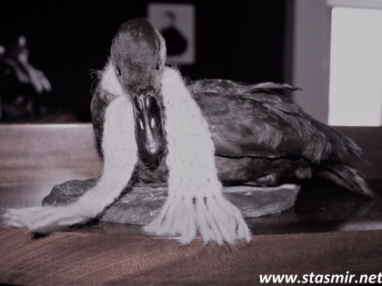 чучело утки в отеле Будир в Западной Исландии, Снайфедльснес, отель Búðir в прадничном убранстве, фото Стасмир, Photo Stasmir