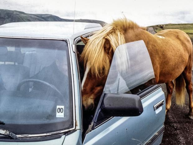 Icelandic horse, Исландская лошадь, Íslenski hesturinn