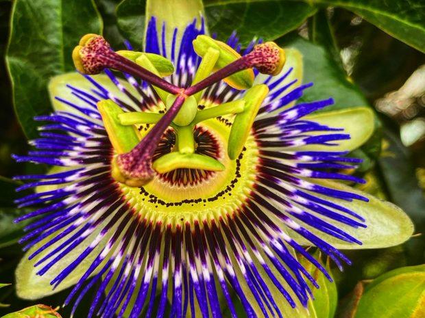 Цветет цветок маракуйи, фото Стасмир, photo Stasmir